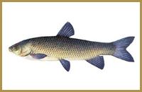 В пруду Голыгино ловится Амур (белый, черный)