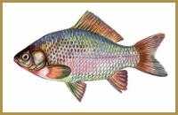 В пруду Голыгино ловится Карась (золотой, серебряный)