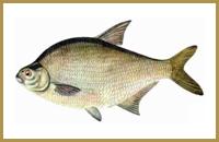 В пруду Голыгино ловится Карп (обычный, зеркальный)