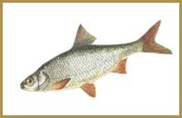 В пруду Голыгино ловится Плотва