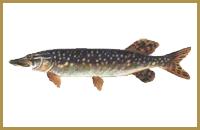 В пруду Голыгино ловится Щука