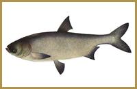 В пруду Голыгино ловится Толстолобик (белый, пестрый)